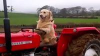 这只金毛竟然会开拖拉机, 每天帮着主人耕地收割, 动作娴熟!