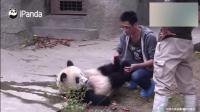 熊猫: 宝宝走累了, 需要奶爸足底按摩才能起来