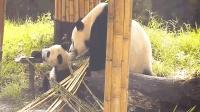 对于不愿回家的熊团子, 熊猫妈妈直接上嘴, 模样笑翻众人