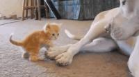 小奶猫把狗狗当成了妈妈, 狗狗的回应好有爱, 一副和谐的样子