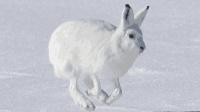 兔子界的大长腿, 不动的时候像一团雪球, 跑起来时速高达64公里!