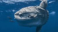 大海中最笨的一种鱼, 喜欢晒太阳, 遇到渔网自己往里钻!