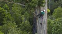 世界上最高的树: 比50层楼还要高, 中国禁止种植的树种!
