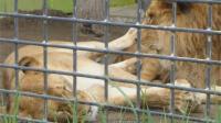 强势的母狮, 睡觉时腿还得搭在公狮子身上!