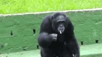 朋友被打, 黑猩猩抄起棍子就是干, 事后还学会了抽烟来压惊!