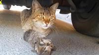 小猫被车撞了, 母猫守在旁边久久不肯离去, 哭的好伤心