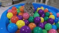 铲屎官给猫咪买了一盆的球, 猫咪玩的超开心, 可有地方撒欢了