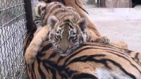 小老虎看到有人在拍照, 龇牙裂嘴的吓唬人, 奶声奶气的太逗了