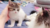 短腿猫想对女儿表达一个父亲的慈爱, 却惨遭拒绝并被打脸