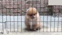 被关笼子的博美犬想出来, 不停地手舞足蹈还会太空步