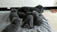 母猫不在, 几只小奶猫缠上了公猫要吃的, 有一只还挑衅它, 公猫反应太逗了