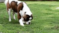 狗狗为啥喜欢吃便便? 延续这么多年, 今天可算明白了!