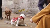 路边偶遇泰迪犬, 猫咪被吓的直接炸毛, 主人却在旁边哈哈大笑