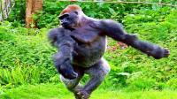 动物界最聪明的猩猩, 它们的某些手势可别模仿, 会被它打的