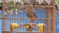 画眉鸟每天遛一遛, 鸟儿爱唱歌!