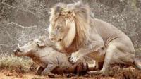 疣猪孤单的散着步, 突然跳出一只母狮子, 镜头拍下全过程