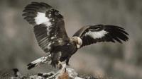世界上最凶的两种鹰, 一个喜欢吃猴子, 一个可以抓野狼!