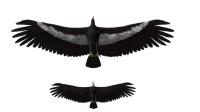 历史上最大的一种鹰, 可以轻松叼起人类, 还好已经灭绝了!