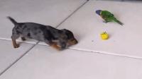 鹦鹉跟狗狗抢玩具, 鹦鹉好霸道的样子, 汪星人太怂了