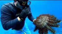 男子冒险潜入海底, 捕捉浑身长满毒刺的海星, 这玩意还是第一次见