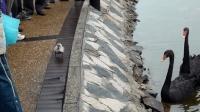 天鹅宝宝爬到了岸上, 黑天鹅焦急万分, 网友: 真是个熊孩子!