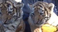 小老虎看到这么多人, 好奇又紧张, 呆萌的表情好可爱