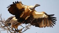 已知飞得最高的鸟 能在万米高空翱翔 飞行员最怕它