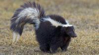 臭鼬为了守护洞穴, 与入侵者进行致命厮杀