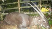 亚洲麒麟 20世纪最惊人的动物物种发现之一 如今面临灭绝