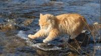 猫不会游泳, 为什么会喜欢吃鱼? 搞笑猫抓鱼, 这手法真是太历害了
