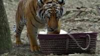 大宋名臣包拯出世后, 被父亲当怪物, 丢弃最后被老虎救起, 其大哥大嫂收养