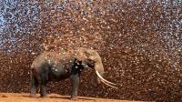 100万只麻雀群殴1头大象 下一秒不忍直视 太血腥了!
