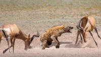 羚羊父母为救孩子对鬣狗发起攻击, 画面太残暴了, 镜头拍下它惨死全过程