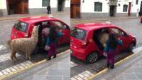 秘鲁一羊驼挤进出租车,姿态搞笑有趣