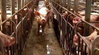 福建莆田市排查出非洲猪瘟疫情