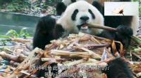 那些租借不起熊猫的国家, 都咋做的? 鳄鱼: 我为动物园付出太多!
