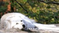 饲养地最懒的狼, 连叫声都显得中气不足, 不说还以为是哈士奇装的