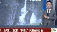 """甘肃:野生大熊猫""""情侣""""同框秀恩爱 超级新闻场 20181113 超清版"""