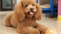 有些泰迪犬从小就要被剪掉尾巴, 这是为什么? 今天告诉你!