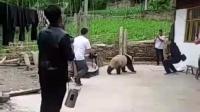 熊猫进村随便整, 国宝没人敢惹!