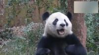 大熊猫喜兰为了吃 连国宝尊严都不要了!