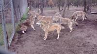 一群狼打一只狼? 这只狼叫起来的声音, 为啥听起来像只哈士奇?