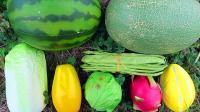 认识哈密瓜等8种果蔬