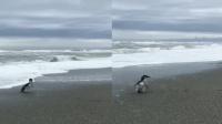 小蓝企鹅获救后被放生临走前来这个举动