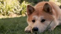 关于秋田犬: 犬界的清流, 因为这两件事闻名全世界
