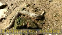 老钟哥的Vlog-026: 野外钓鱼遇到蛇在吞食泥鳅。