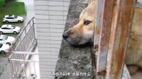 好狗不死在家中, 为什么农村土狗临死前要离开家