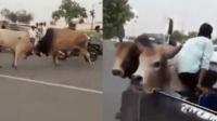 """印度街头两头公牛""""决斗"""" 逃跑时顶翻路边小车"""