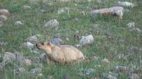 在西藏旅游的时候, 有幸在路边看到土坡鼠, 胖乎乎的像我女朋友