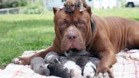 世界第一犬种的比特犬, 能轻易咬断人的手臂, 一只价值50万元!